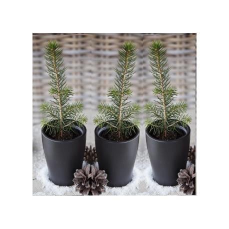 Eglės sodinukų iš Laplandijos miško rinkinys, 3 vnt