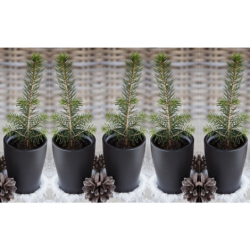Eglės sodinukų iš Laplandijos miško rinkinys, 5 vnt